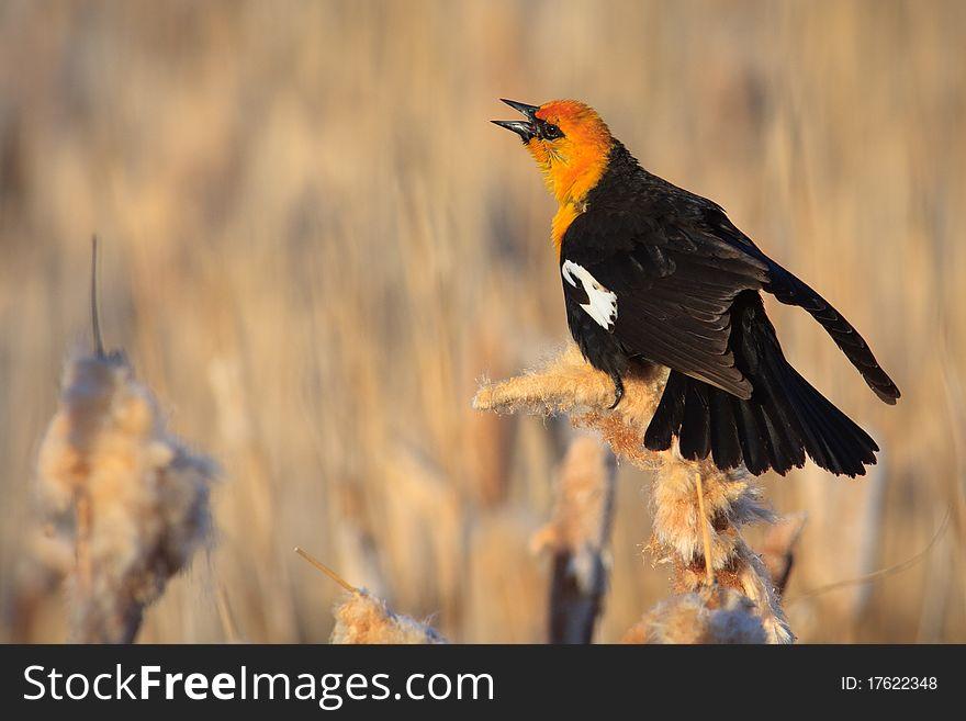 Yellow-headed Blackbird, Montana