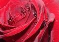 Free Red Rose Stock Photos - 17631623