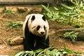 Free Panda Stock Image - 17633821