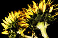 Free Sunflowers With High-dynamic Effect Royalty Free Stock Photo - 17639255