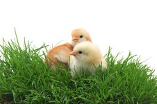 Free Two Chicks In Grass Stock Photography - 17631542
