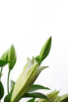 Free Lily Flowers Stock Photography - 17631562