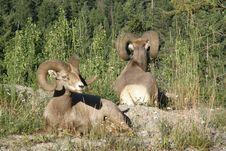 Free Two Mountain Sheep Royalty Free Stock Photo - 17632365