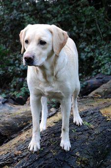 Labrador Pup Royalty Free Stock Photography