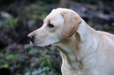 Labrador Pup Royalty Free Stock Photo