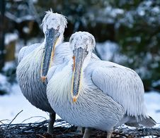 Free Two Young Pelicans Royalty Free Stock Photos - 17636248