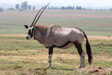 Oryx Royalty Free Stock Photos