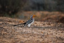 Free Southern Yellow-Billed Hornbill Stock Photo - 17638840