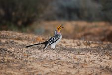 Free Southern Yellow-Billed Hornbill Royalty Free Stock Photography - 17638847