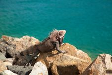 Free Iguana In The Caribbean Royalty Free Stock Photos - 17639318