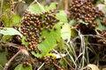 Free Ladybug Swarm Royalty Free Stock Photos - 17643168