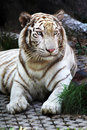 Free Tiger Close Up Royalty Free Stock Photography - 17644697