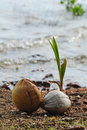 Free Coconut Sprout On The Beach Royalty Free Stock Images - 17647059