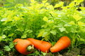 Free Parsley And Carrot - Organic Food Stock Image - 17648091