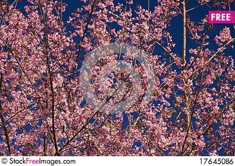 Free Thai Sakura Royalty Free Stock Image - 17645086