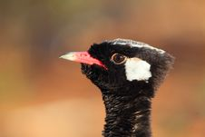 Free Northern Black Korhaan Stock Photography - 17640472