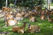 Free A Group Of Deer Stock Image - 17640721