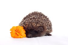 Free Hedgehog With Flower Royalty Free Stock Photos - 17641418