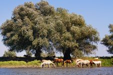 Free Horses At The Watering Royalty Free Stock Photography - 17642237