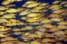 Schooling Blue Striped Snappers Royalty Free Stock Photo