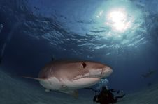 Free Tiger Shark Stock Images - 17643124