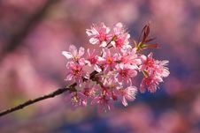 Free Thai Sakura Stock Photo - 17645090