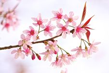 Free Thai Sakura Stock Images - 17645094