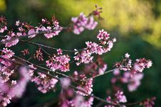 Free Thai Sakura Stock Photo - 17645100