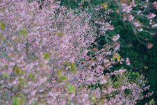 Free Thai Sakura Stock Photography - 17645102