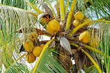 Free Coconut On The Tree Royalty Free Stock Image - 17645286