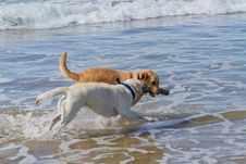 Free Two Labradors Playing With A Stick At The Beach Royalty Free Stock Photos - 17645748