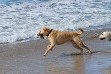 Free Two Labradors Playing With A Stick At The Beach Stock Images - 17645754