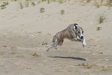 Free Whippet Racing In The Sand Stock Image - 17645761