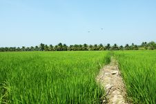 Free Paddy Field, Rice Stock Photography - 17645992