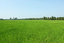 Paddy Field, Rice Royalty Free Stock Photo