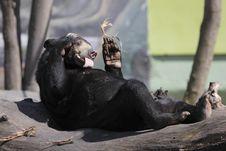 Sun Bear Stock Photos
