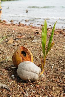 Free Coconut Sprout On The Beach Stock Photography - 17647012