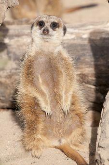 Free Suricate Or Mongoose Or Meerkat Royalty Free Stock Photos - 17647308