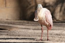 Free Roseate Spoonbill Stock Photography - 17647312