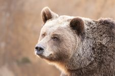 Free Brown Bear Portrair Royalty Free Stock Photography - 17647527