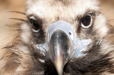 Griffon Vulture Portrait Stock Image