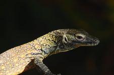 Profile Of A Komodo Stock Photos