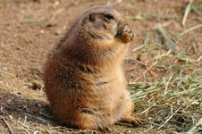 Free Prairie Dog Stock Images - 17647964