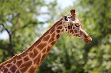 Free Giraffe Stock Images - 17649814