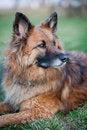 Free Belgian Shepherd Dog Royalty Free Stock Photography - 17653487