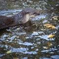 Free Otter Stock Photos - 17653663