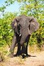 Free African Elephant (Loxodonta Africana) Stock Images - 17655964