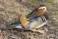 Free Mandarin Duck Royalty Free Stock Image - 17656706