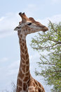 Free Giraffe Feeding Royalty Free Stock Photos - 17659978