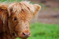 Free Highland Calf Royalty Free Stock Photo - 17650555